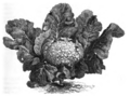Chou-fleur géant de Naples Vilmorin-Andrieux 1883.png