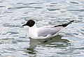 Chroicocephalus ridibundus - Black-headed Gull 08.jpg