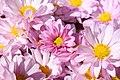 Chrysanthemum Courtney 0zz.jpg