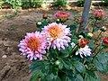 Chrysanthemum in Bangladesh.jpg