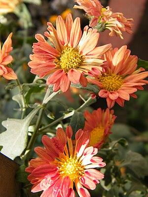 Ichalkaranji - Image: Chrysanthemum morifolium