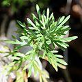 Chrysanthemum rupestre (leaf).jpg