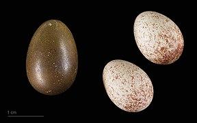 Chrysococcyx lucidus MHNT.ZOO.2010.11.150.22.jpg
