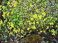 Chrysosplenium alternifolium Maígull.jpg