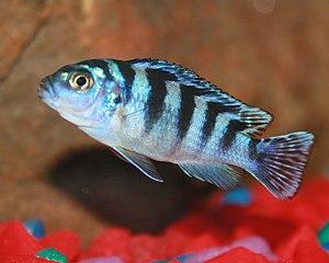 "Maylandia - Female Kennyi Mbuna or ""lombardoi"" (M. lombardoi)"
