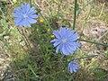 Cichorium intybus (Slovakia, July 2007).jpg