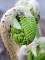 Circinate vernation.jpg