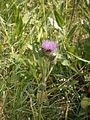 Cirsium heterophyllum 002.JPG