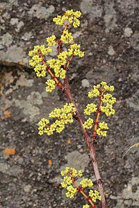 C. cornifolia