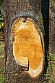 City of London Cemetery and Crematorium ~ cedar bark 01.jpg
