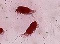 Cladocera (YPM IZ 090657).jpeg