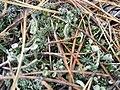 Cladonia fimbriata 101343149.jpg