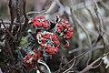 Cladonia sp. (36204104552).jpg