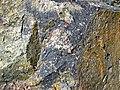 Clast-rich impact pseudotachylite (Sudbury Breccia, Paleoproterozoic, 1.85 Ga; Windy Lake Northwest roadcut, Sudbury Impact Structure, Ontario, Canada) 16 (47739492611).jpg