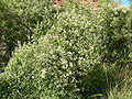 Clematis ligusticifolia 6.jpg