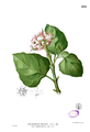 Clerodendrum chinense Blanco1.222.png