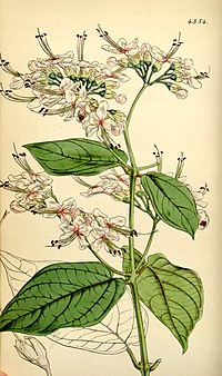 Clerodendrum umbellatum (as C. scandens) Bot. Mag. 74.4354