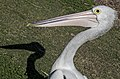 Clontarf Pelican waiting for a fish-3 (7385057292).jpg