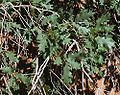Closeup of bush leaves in Arches NP.jpeg