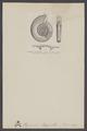 Clymenia - Print - Iconographia Zoologica - Special Collections University of Amsterdam - UBAINV0274 005 09 0014.tif