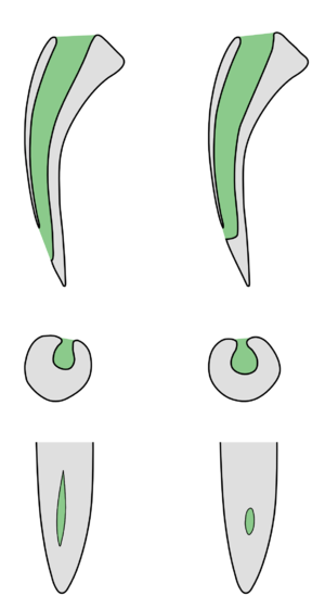 Spitting cobra - Schematic comparison between sections of spitting and non-spitting cobra fangs.  Spitting cobras on the right.  1: Section of the whole fang in the sagittal plane.  2: Horizontal section through the fang at the discharge orifice.  3: Frontal view of the discharge orifices.