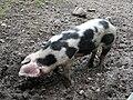 Cochon de Bayeux (3).JPG