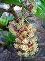 Codiaeum variegatum 02.JPG