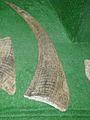 Coelodonta horn.jpg