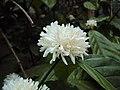 Coffea canephora 2.JPG
