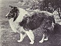 Collie (rough) from 1915.JPG