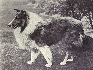 Rough Collie - Rough Collie circa 1915