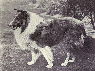 Rough Collie - Rough Collie circa 1915