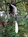 Colobus Monkey (11451475064).jpg