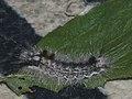 Colocasia coryli (larva) - Nut-tree tussock (caterpillar) - Совка-шелкопряд (гусеница) (41099127131).jpg