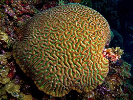 Colpophyllia natans (Boulder Brain Coral) entire colony.jpg