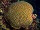 Colpophyllia natans (Boulder Brain Coral) entire colony.jpg