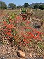 Combretum microphyllum (habitus).jpg