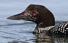 Common loon  Wikipedia