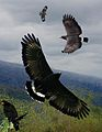 Common Black Hawk From The Crossley ID Guide Eastern Birds.jpg