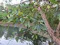 Common Fig - അത്തി 02.JPG