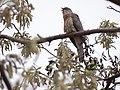 Common Hawk-Cuckoo - Hierococcyx varius - DSC05079.jpg