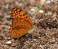 Common Leopard (Phalanta phalantha) mud-puddling W IMG 9355.jpg