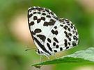 Common Pierrot Castalius rosimon by kadavoor.JPG