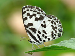 Common Pierrot Castalius rosimon by kadavoor.JPG
