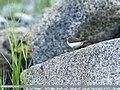 Common Sandpiper (Actitis hypoleucos) (30102794551).jpg