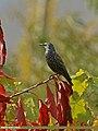 Common Starling (Sturnus vulgaris) (25613811865).jpg