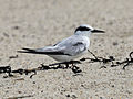 Common Tern RWD.jpg
