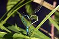 Common blue damselflies (Enallagma cyathigerum) female dull green form mating wheel.jpg