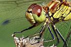 Common darter dragonfly (Sympetrum striolatum) female head.jpg