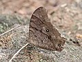Common evening brown Chinnar WLS Kerala (7).jpg